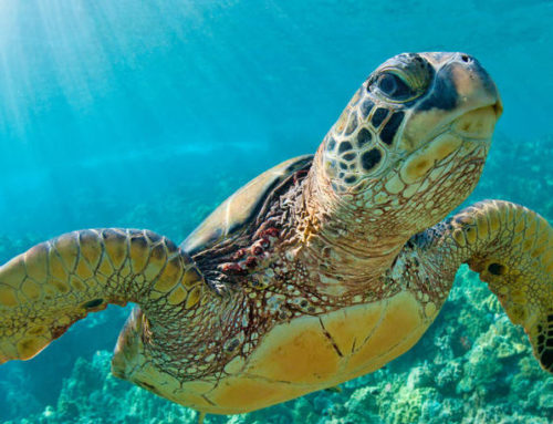 Las tortugas marinas confunden el olor del plástico con el alimento