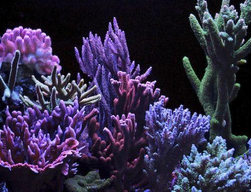El blanqueamiento por el cambio climático también afecta a los corales de acuario