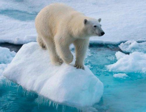 Estudio advierte que cambio climático podría provocar la extinción casi total de osos polares para el 2100
